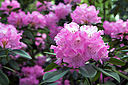 Stinknormale Rhododendronblüte
